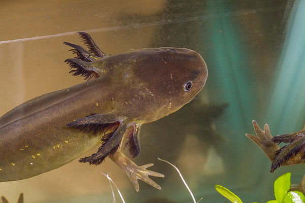 barred tiger salamander larva, Ambystoma marvortium ssp. (Ambystomatidae). Captive sold as bait. Arizona USA