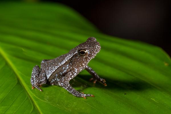 South American common toad, Rhinella margaritifera complex (Bufonidae). unnamed trail, Shiripuno, Orellana Ecuador
