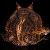 Amazonian horned toad, <i>Ceratophrys cornuta</i> (Ceratophryidae). Colibri trail, Shiripuno, Orellana Ecuador