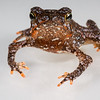 South American common toad, <i>Rhinella margaritifera</i> complex (Bufonidae). Bates Trail, Shiripuno, Orellana Ecuador