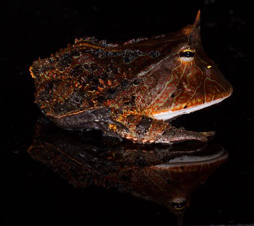 Amazonian horned toad, Ceratophrys cornuta (Ceratophryidae). Colibri trail, Shiripuno, Orellana Ecuador