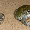 Woodhouse's toad, <i>Anaxyrus woodhousii</i> and Sonoran Desrt toad <i>Incilius alvarius</i> (Bufonidae). Tucson, Pima Co. Arizona USA