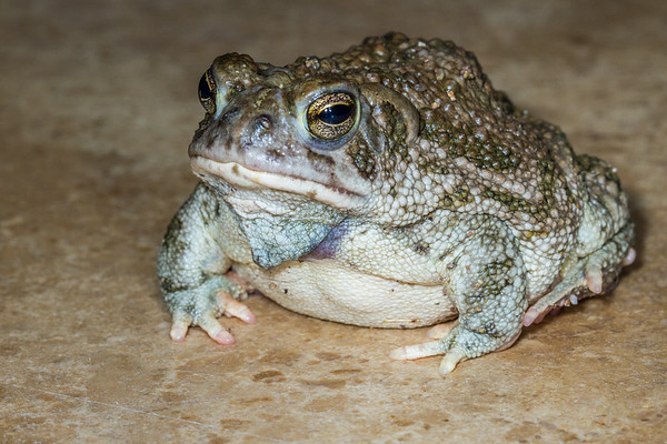 Woodhouse's toad, Anaxyrus woodhousii (Bufonidae). Tucson, Pima Co. Arizona USA