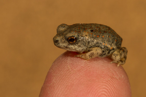 juvenile red-spotted toad, Anaxyrus (Bufo) puntatus (Bufonidae). Tucson, Pima Co., Arizona USA