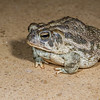 Woodhouse's toad, <i>Anaxyrus woodhousii</i> (Bufonidae). Tucson, Pima Co. Arizona USA