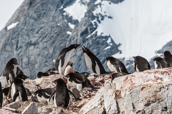 adelie penguin, Pygoscelis adeliae (Sphenisciformes, Spheniscidae). Petermann Island Antarctica