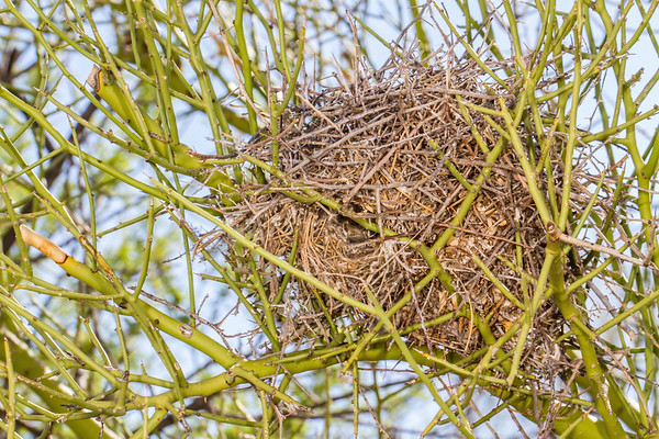 verdin nest in palo verde, Auriparus flaviceps (Remizidae). Desert Station Biological Preserve, Tucson, Pima Co., Arizona USA