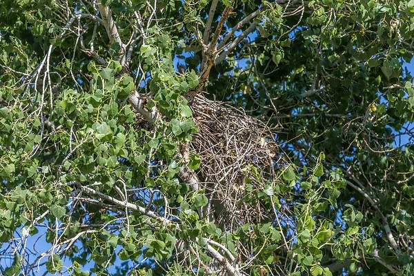 Cooper's hawk nest, Accipiter cooperii (Accipitriformes, Accipitridae). Sweetwater Wetlands, Tucson, Arizona USA