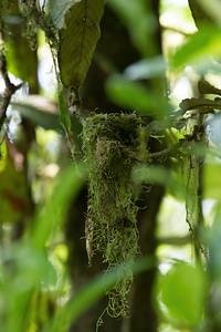 nest, club-winged manakin, Machaeropterus deliciosus  (Pipridae).Reserva Las Gralarias, Pichincha Ecuador