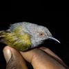 gray-backed cameroptera, <i>Cameroptera brevicaudata</i> (Cisticolidae, Passeriformes). Caught in mist net. Bermin, Southwest Region, Cameroon Africa