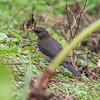 African thrush, <i>Turdus pelios</i> (Passeriformes, Turdidae). Nyasoso, Southwest Region, Cameroon Africa