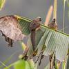 speckled mousebird, <i>Colius striatus</i> (Coliiformes, Coliidae). Nyasoso, Southwest Region, Cameroon Africa