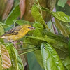 village weaver, <i>Ploceus cucullatus</i> (Passeriformes, Ploceidae). Nyasoso, Southwest Region, Cameroon Africa