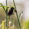 Vieillot's black weaver, <i>Ploceus nigerrimus</i> (Passeriformes, Ploceidae). Edib, Southwest Region, Cameroon Africa
