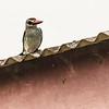 grey-headed kingfisher, <i>Halcyon leucocephala</i> (Coraciiformed, Alcedinidae). Nyasoso, Southwest Region, Cameroon Africa