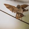 northern gray-headed sparrow, <i>Passer griseus</i> (Passeriformes, Passeridae). Nyasoso, Southwest Region, Cameroon Africa
