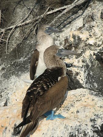blue-footed booby, Sula nebouxii (Sulidae). Islets of Venecia (Cerro Dragon), Isla Santa Cruz, Galapagos Islands Ecuador