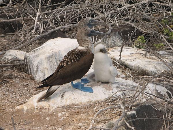 blue-footed booby, Sula nebouxii (Sulidae). Isla Espanola, Galapagos Islands Ecuador