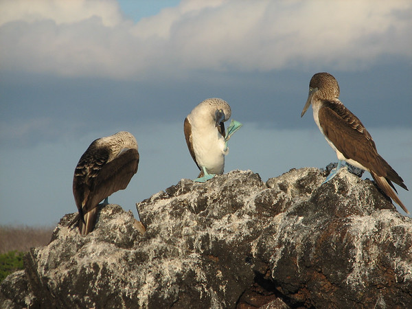 blue-footed booby, Sula nebouxii (Sulidae). Islets of Venecia (Cerro Dragon), Isla Santa Cruz, Galapagos Islands Ecuador