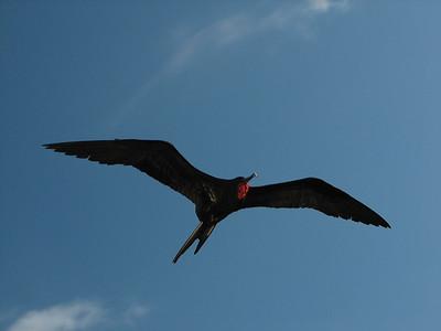 great frigatebird, Fregata minor (Fregatidae). Isla Genovesa, Galapagos Islands Ecuador
