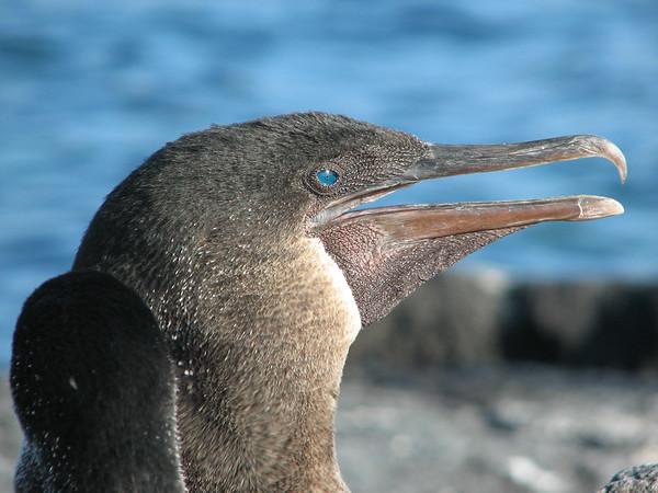 flightless cormorant, Nannopetrum harrisi (Phalacrocoracidae). Punta Espinosa, Isla Fernandina, Galapagos Islands Ecuador