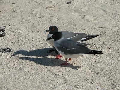 swallow-tailed gull Creagrus furcatus (Laridae) Isla Genovesa, Galapagos Islands Ecuador