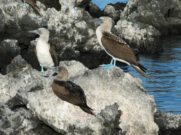 blue-footed booby, Sula nebouxii (Sulidae). Punta Espinosa, Isla Fernandina,  Galapagos Islands Ecuador