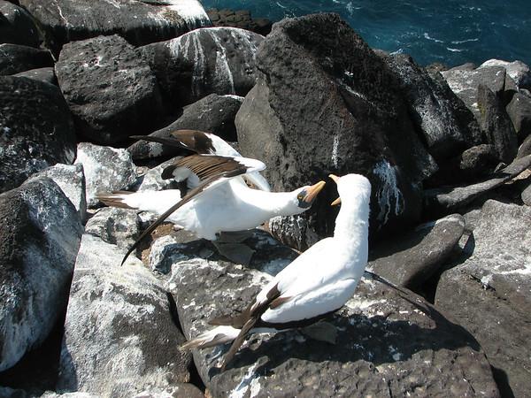Nazca Booby, Sula granti (Sulidae). Isla Espanola, Galapagos Islands Ecuador