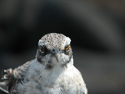 Espanola hood mockingbird, Mimus (Nesomimus) macdonaldi (Mimidae). Isla Espanola, Galapagos Islands, Ecuador