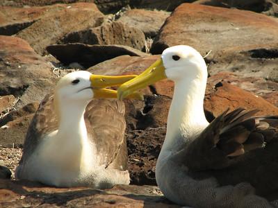 waved albatross, Dimedea irrorata (Diomedeidae). Isla Espanola, Galapagos Islands Ecuador
