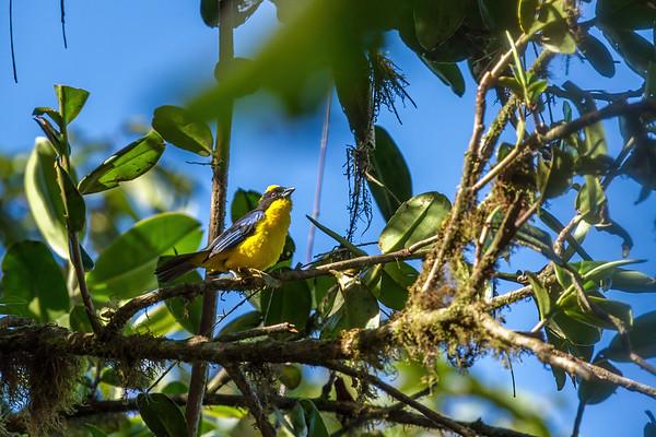 blue-winged mountain tanager, Anisognathus somptuosus (Thraupidae). Reserva Las Gralarias, Pichincha Ecuador