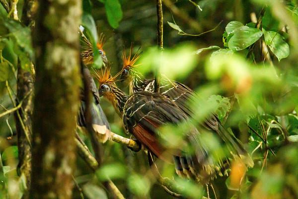 hoatzin, Opisthocomus hoazin (Opisthocomidae). oxbow lake, Shiripuno, Orellana Ecuador