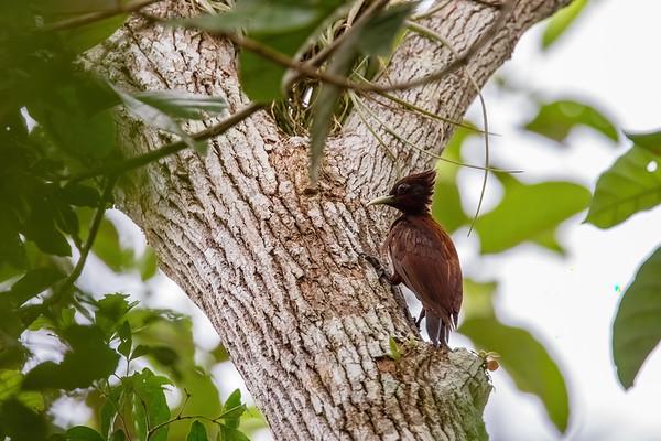male chestnut woodpecker, Celeus elegans (Picidae). Shiripuno, Orellana Ecuador