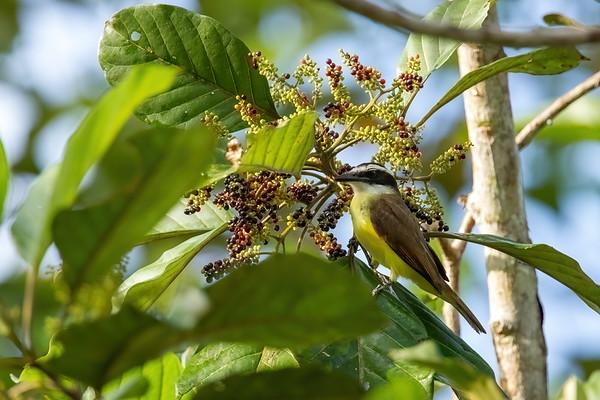 great kiskadee, Pitangus sulphuratus (Tyrannidae). Shiripuno, Orellana Ecuador