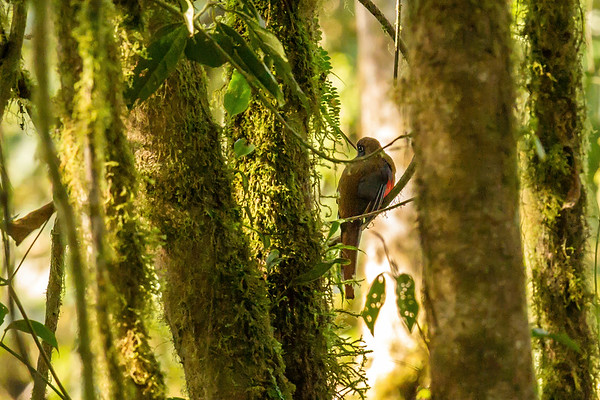 female masked trogon, Trogon personatus assimilis (Trogonidae). Reserva Las Gralarias, Pichincha Ecuador