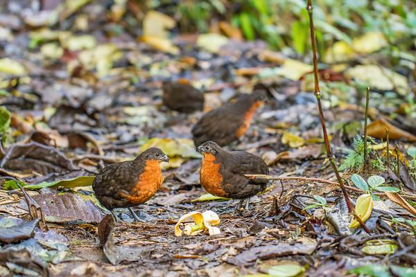 dark-backed wood-quail, Odontophorus melanonotus (Odontophoridae). Refugio Paz de las Aves, Mindo, Pichincha Ecuador