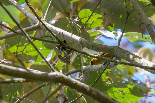 golden tanager, Tangara arthus goodsoni (Thraupidae) western. Reserva Las Gralarias, Pichincha Ecuador