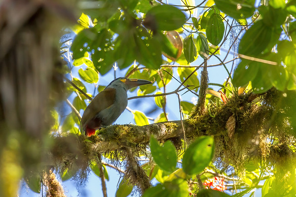 plate-billed mountain toucan, Andigena laminirostris (Ramphastidae). Reserva Las Gralarias, Pichincha Ecuador