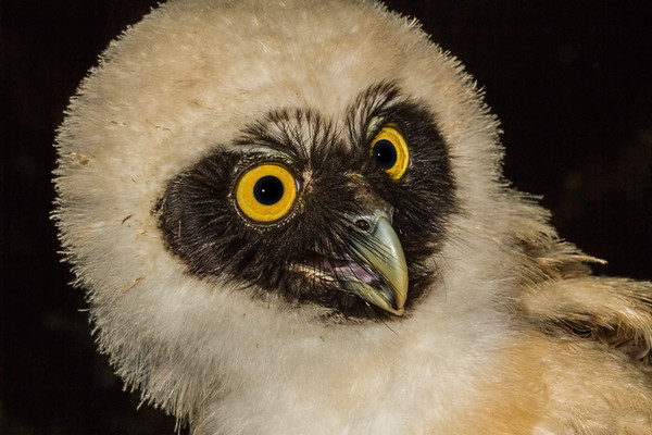 captive juvenile spectacled owl, Pulsatrix perspicillata