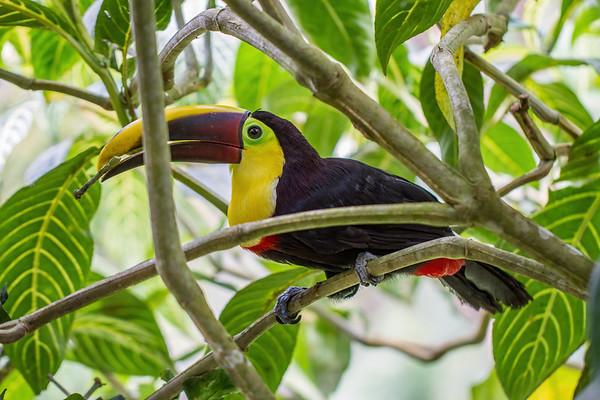 chestnut mandibled toucan, Rampastos ambiguus swainsonii (Ramphastidae). Mindo Bonito, Mindo, Pichincha Ecuador
