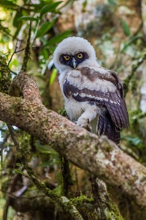 captive juvenile spectacled owl, Pulsatrix perspicillata (Strigiformes, Strigidae). Gareno Lodge Amazon, Napo Ecuador
