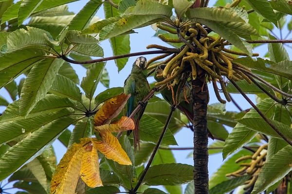 chestnut-fronted macaw, Ara severa (Psittacidae). Shiripuno, Orellana Ecuador