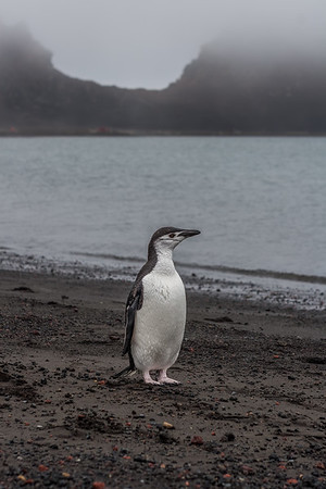 chinstrap penguin, Pygoscelis antarcticus (Sphenisciformes, Spheniscidae). Whaler's Bay, Deception Island, South Shetland Islands Antarctica
