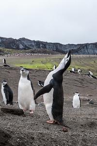chinstrap penguin, Pygoscelis antarcticus (Sphenisciformes, Spenniscidae). Bailey Head, Deception Island, South Shetland Islands Antarctica
