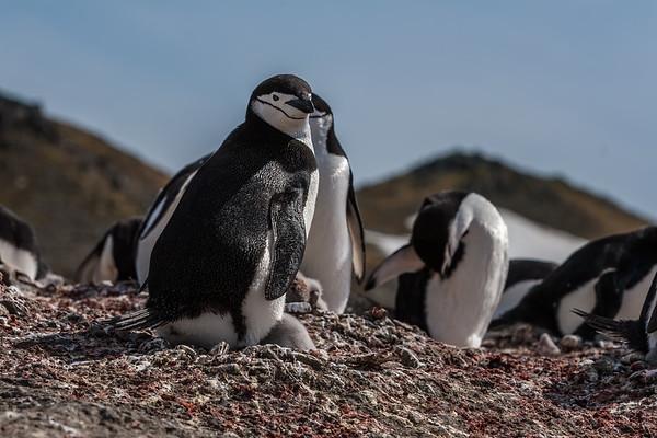 chinstrap penguin, Pygoscelis antarcticus (Sphenisciformes, Spheniscidae). Aitcho Islands, South Shetland Islands Antarctica