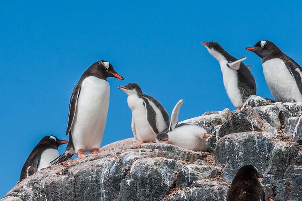 gentoo penguin, Pygoscelis papua (Sphenisciformes, Spheniscidae). Jougla Point, Wiencke Island Antarctica