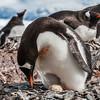 gentoo penguin, <i>Pygoscelis papua</i> (Sphenisciformes, Spheniscidae). Cuverville Island Antarctica