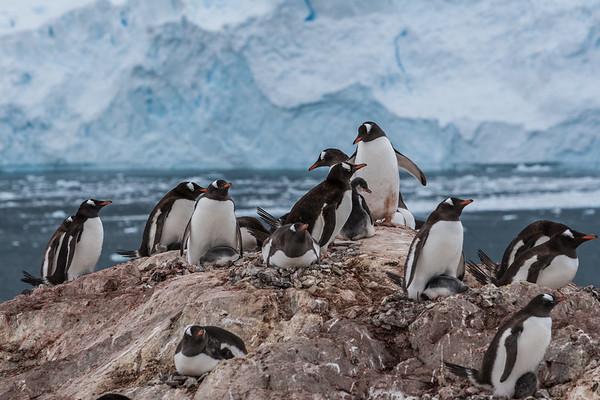 gentoo penguin, Pygoscelis papua (Sphenisciformes, Spheniscidae). Neko-Harbour Antarctica