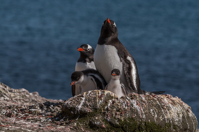 gentoo penguin, Pygoscelis papua (Sphenisciformes, Spheniscidae). Aitcho Islands, South Shetland Islands Antarctica
