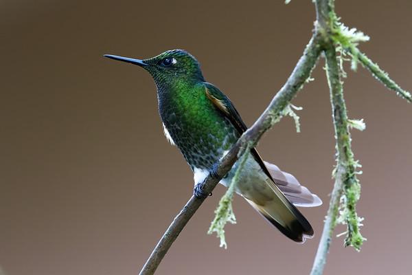 buff-tailed coronet, Boissonneaua flavescens (Trochilidae). Reserva Las Gralarias, Pichincha Ecuador